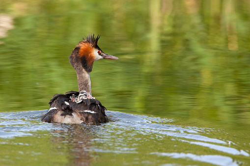North Brabant「Netherlands, Werkendam, Great Crested Grebe With Chicks」:スマホ壁紙(5)