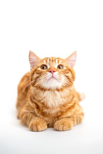 Parasitic「Ginger cat sitting on floor in living room.」:スマホ壁紙(13)