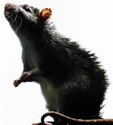 Animal Body「Rat (Rattus sp.), close-up」:スマホ壁紙(1)
