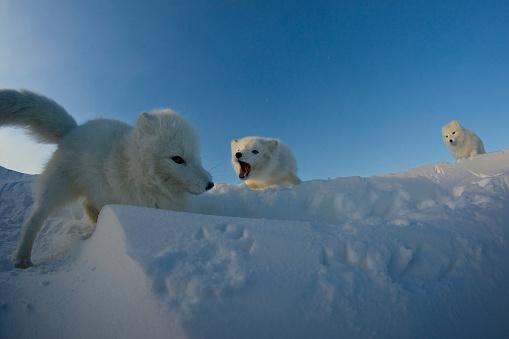 Snowdrift「Polar foxes looking for prey in the snowy tundra.」:スマホ壁紙(11)