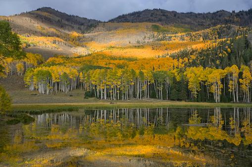 Aspen Tree「Aspen forest in autumn, Fishlake National Forest, Utah.」:スマホ壁紙(14)
