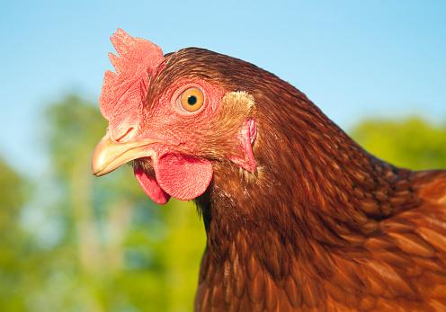 Animal Eye「Free Range Chicken Close-Up」:スマホ壁紙(7)