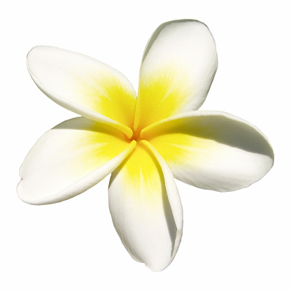 Hawaiian Culture「Indian jasmine on white (frangipani)」:スマホ壁紙(12)