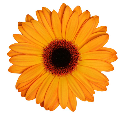 Single Flower「Orange Gerber daisy on a white background」:スマホ壁紙(18)