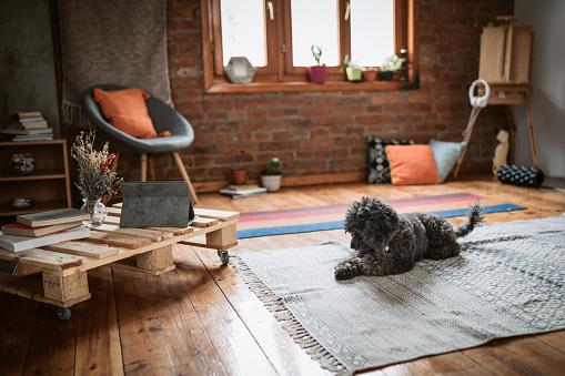 Pets「Dog resting on the carpet」:スマホ壁紙(2)