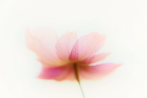 Multiple Exposure「Anemone flowers abstract art」:スマホ壁紙(4)