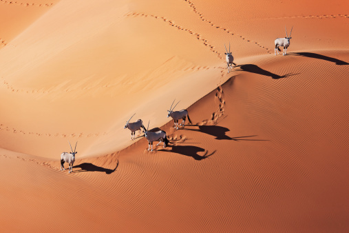 Medium Group Of Animals「Gemsboks (Oryx gazella) in typical desert habitat. Namib desert, Namib-Naukluft National Park, Namibia, Africa」:スマホ壁紙(18)