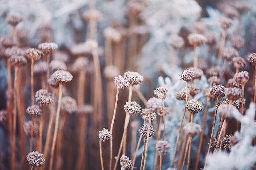 Wildflower「Wilted flowers in winter sunlight」:スマホ壁紙(13)