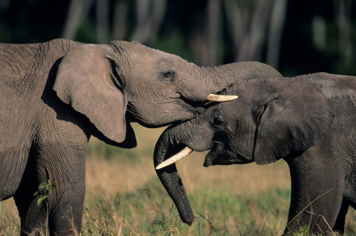 Face To Face「Two African elephants (Loxodonta africana), standing face to face, Kenya」:スマホ壁紙(17)