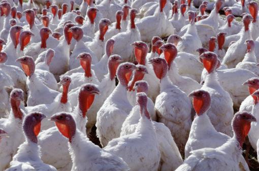 Flock Of Birds「Domestic turkeys」:スマホ壁紙(4)
