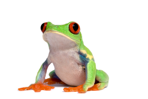 Frog「frog (agalychnis callidryas)」:スマホ壁紙(12)