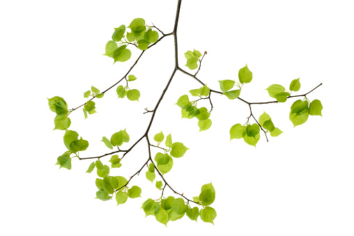 Branch - Plant Part「Lime tree leaves in front of white background」:スマホ壁紙(13)