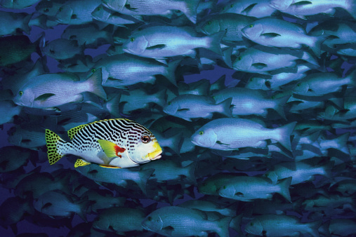 Standing Out From The Crowd「A Black Spotted Sweetlips Swimming in Opposite Direction to School of Snappers」:スマホ壁紙(15)