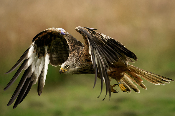 Animal Themes「Gigrin Farm Red Kite Centre Prepares to Reopen To the Public After Lockdown」:写真・画像(13)[壁紙.com]