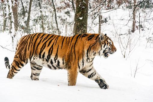 Tiger「Slowly walking Siberian tiger in snow」:スマホ壁紙(5)