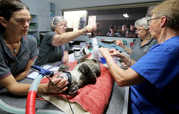Animal Themes「Koala Hospital Works To Save Injured Animals Following Bushfires Across Eastern Australia」:写真・画像(0)[壁紙.com]