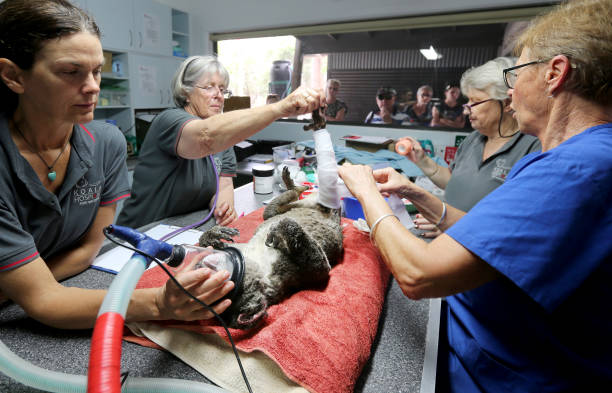 Koala Hospital Works To Save Injured Animals Following Bushfires Across Eastern Australia:ニュース(壁紙.com)