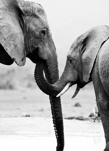 Animal Ear「elephant mother and son」:スマホ壁紙(3)