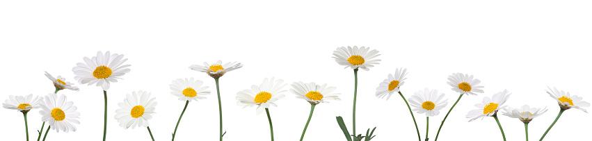 Wildflower「XXXL Daisies on white background」:スマホ壁紙(12)