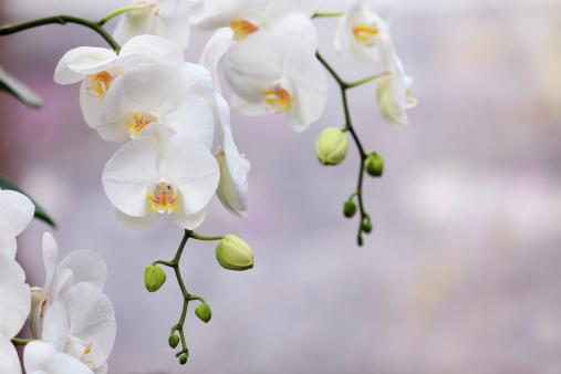 枝「ランの花」:スマホ壁紙(11)