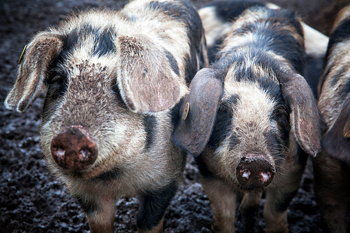 Danish Culture「Happy piglets on an organic farm in Denmark.」:スマホ壁紙(18)