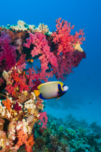 Soft Coral「Emperor angelfish with soft corals.」:スマホ壁紙(18)