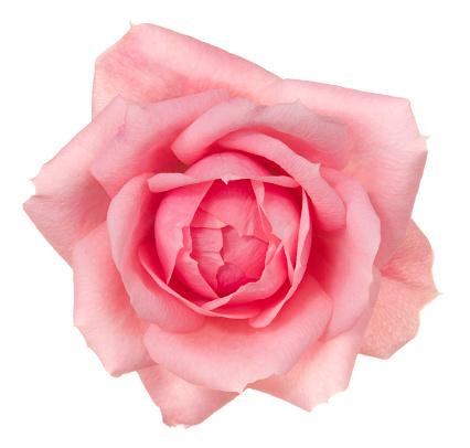 Wildflower「Rose.」:スマホ壁紙(7)