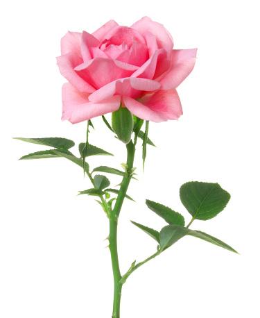 Single Flower「Rose.」:スマホ壁紙(17)