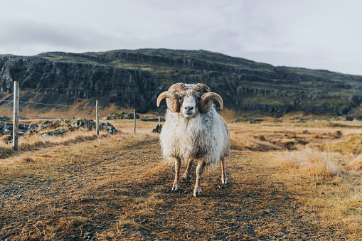 Horned「Front view of old ram on farm in Iceland」:スマホ壁紙(10)