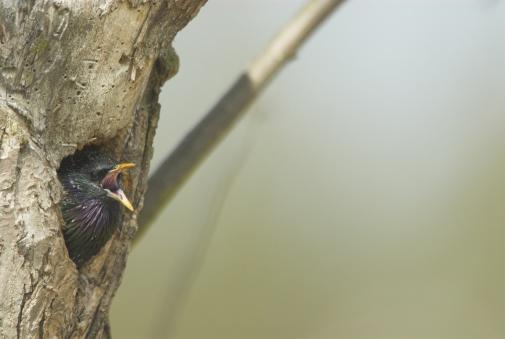 Singer「Starling, Sturnus vulgaris, mating season, male singing out of nest hole in old apple tree, Bavaria, Germany」:スマホ壁紙(12)
