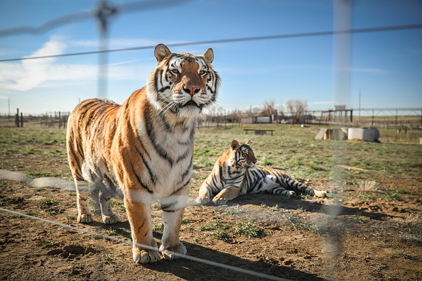 """Animal「Wild Animal Sanctuary In Colorado Home To Almost 40 Tigers From Wildly Popular Documentary Of Joe Exotic """"Tiger King""""」:写真・画像(8)[壁紙.com]"""