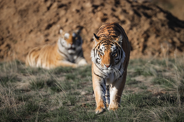 """Animal「Wild Animal Sanctuary In Colorado Home To Almost 40 Tigers From Wildly Popular Documentary Of Joe Exotic """"Tiger King""""」:写真・画像(18)[壁紙.com]"""