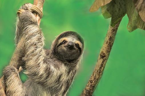 Central America「Three-toed Sloth」:スマホ壁紙(8)