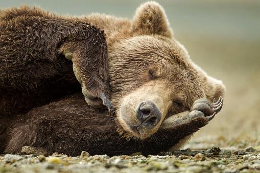Wilderness Area「Sleeping Brown Bear, Katmai National Park, Alaska」:スマホ壁紙(8)