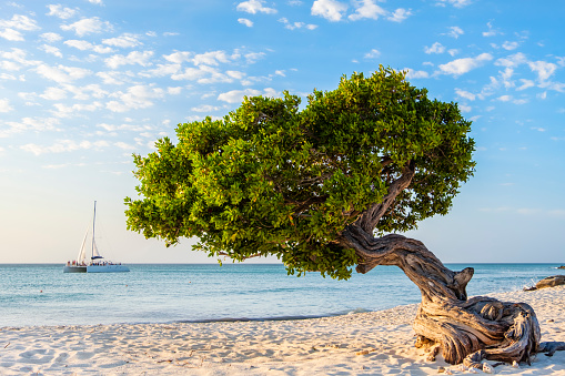 Catamaran「Aruba, Divi divi tree on Eagle Beach」:スマホ壁紙(15)