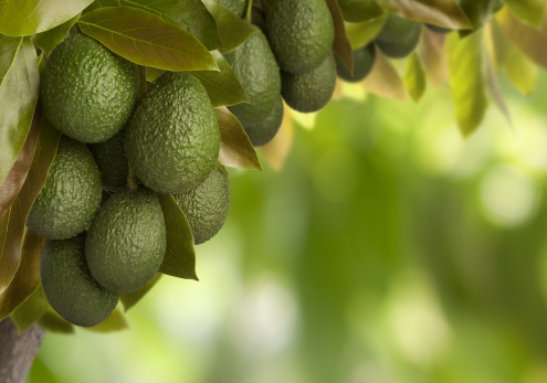 Avocado「Can You Say Guacamole?」:スマホ壁紙(15)