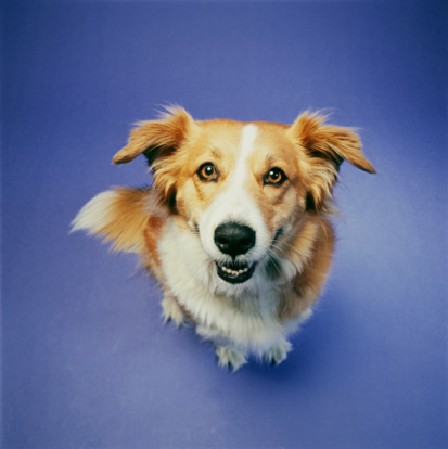 Mixed-Breed Dog「Dog sitting against blue background, elevated view」:スマホ壁紙(17)