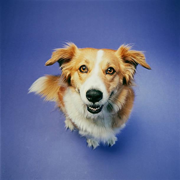 Dog sitting against blue background, elevated view:スマホ壁紙(壁紙.com)