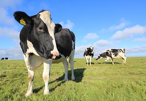 Mammal「Friesian cows in field」:スマホ壁紙(3)
