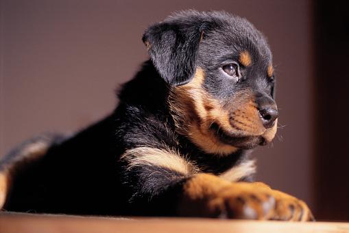 Rottweiler「Rottweiler Puppy Resting」:スマホ壁紙(13)