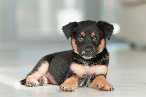 Rottweiler「Rottweiler mix puppy」:スマホ壁紙(5)