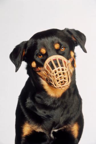 Rottweiler「Rottweiler Wearing Muzzle」:スマホ壁紙(12)