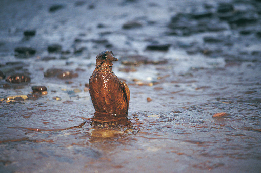 Poisonous「Oiled Guillimot after Empress oil spill,West Wales」:スマホ壁紙(16)