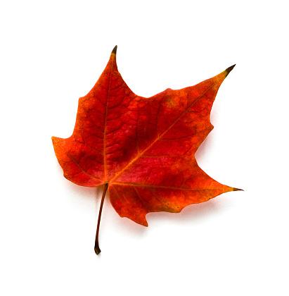 かえでの葉「秋のカエデの葉」:スマホ壁紙(2)