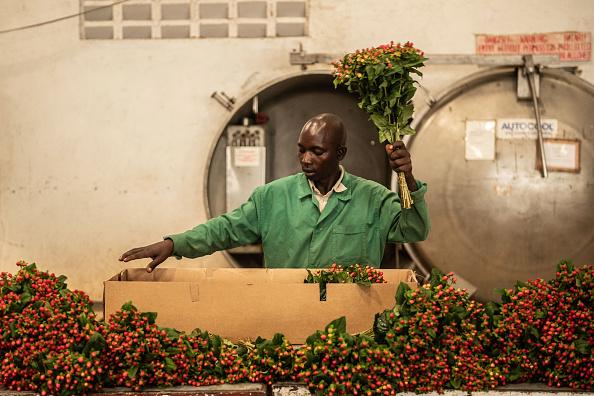 Kenya「Flower Farming In Kenya, World's Fourth-Largest Cut-Flower Exporter」:写真・画像(17)[壁紙.com]