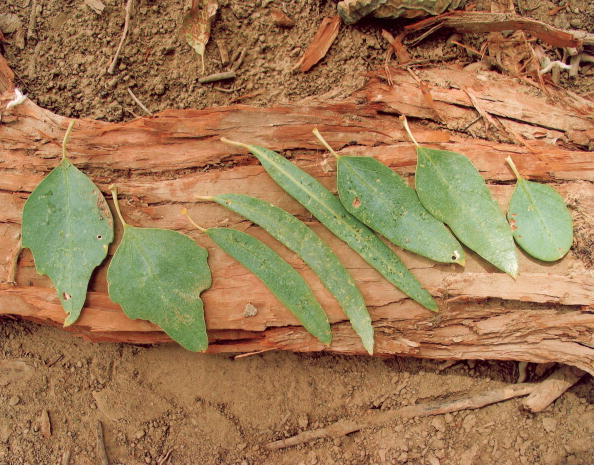 Plant Bark「Diversifolius Leaves」:写真・画像(11)[壁紙.com]