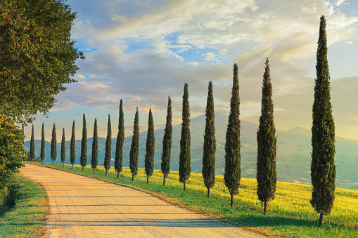 Italian Cypress「Cypress trees in Tuscany, Italy」:スマホ壁紙(6)