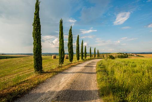 Italian Cypress「Cypress trees along the road in Tuscany」:スマホ壁紙(4)
