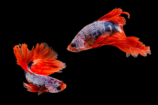 Animals In Captivity「Capture the moving moment of siamese fighting fish, Two betta fish isolated on black background」:スマホ壁紙(5)