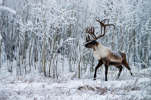 reindeer「Wood Caribou in winter snow」:スマホ壁紙(4)